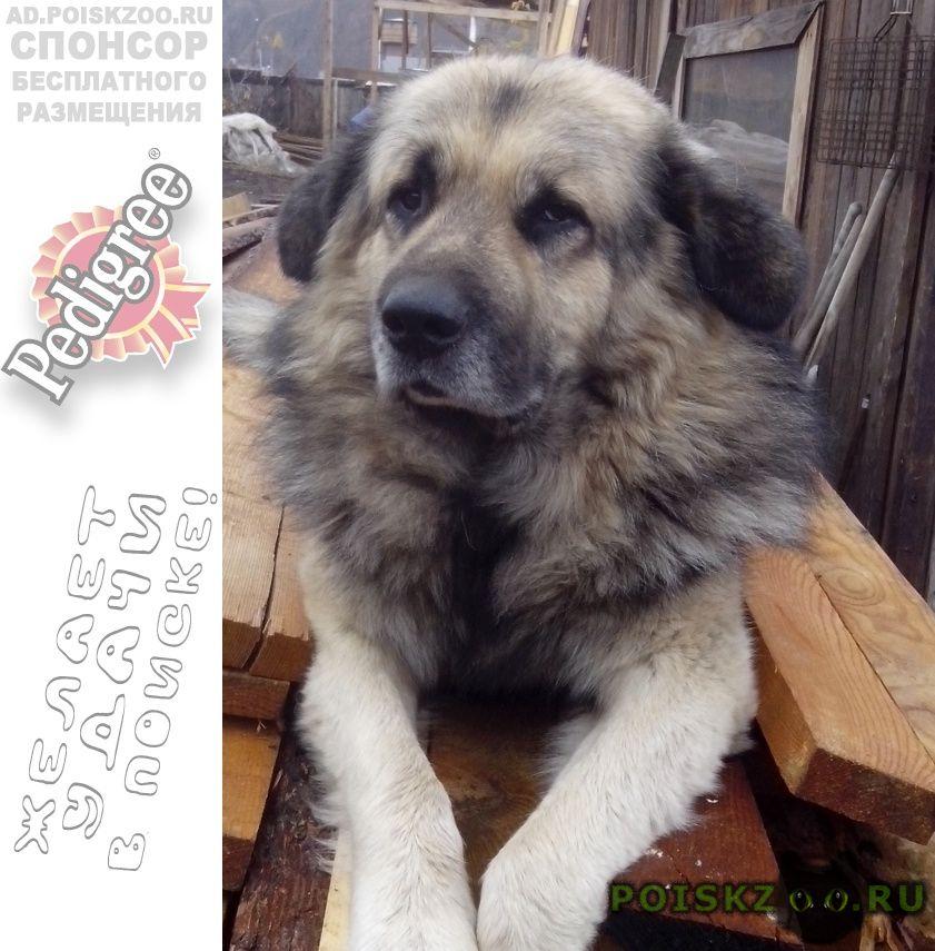 Пропала собака кобель нашедшему вознаграждение г.Красноярск