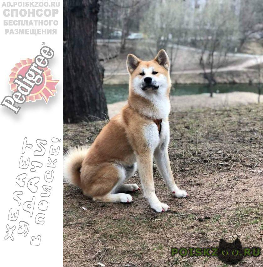 Пропала собака акита-ину г.Москва