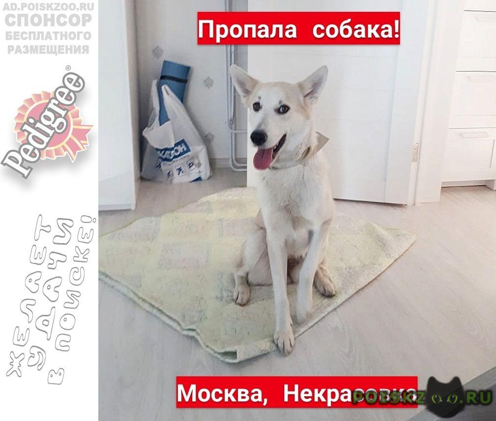 Пропала собака москва ( белая ) г.Некрасовка