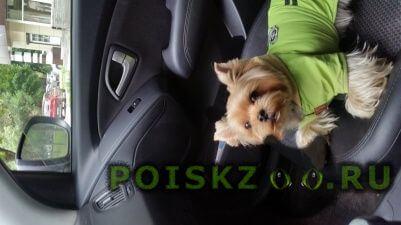 Пропала собака кобель йоркширский терьер г.Балашиха