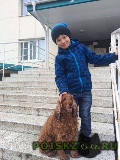 Пропала собака спаниель г.Ханты-Мансийск