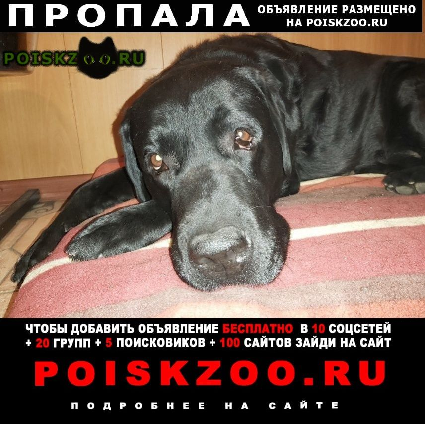 Пропала собака кобель лабрадор г.Сергиев Посад