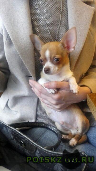 Пропала собака кобель чихуахуа щенок г.Москва
