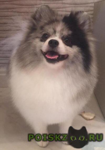Пропала собака кобель помогите найти  шпиц г.Санкт-Петербург