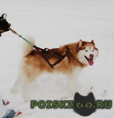 Пропала собака кобель сибирская хаски г.Казань