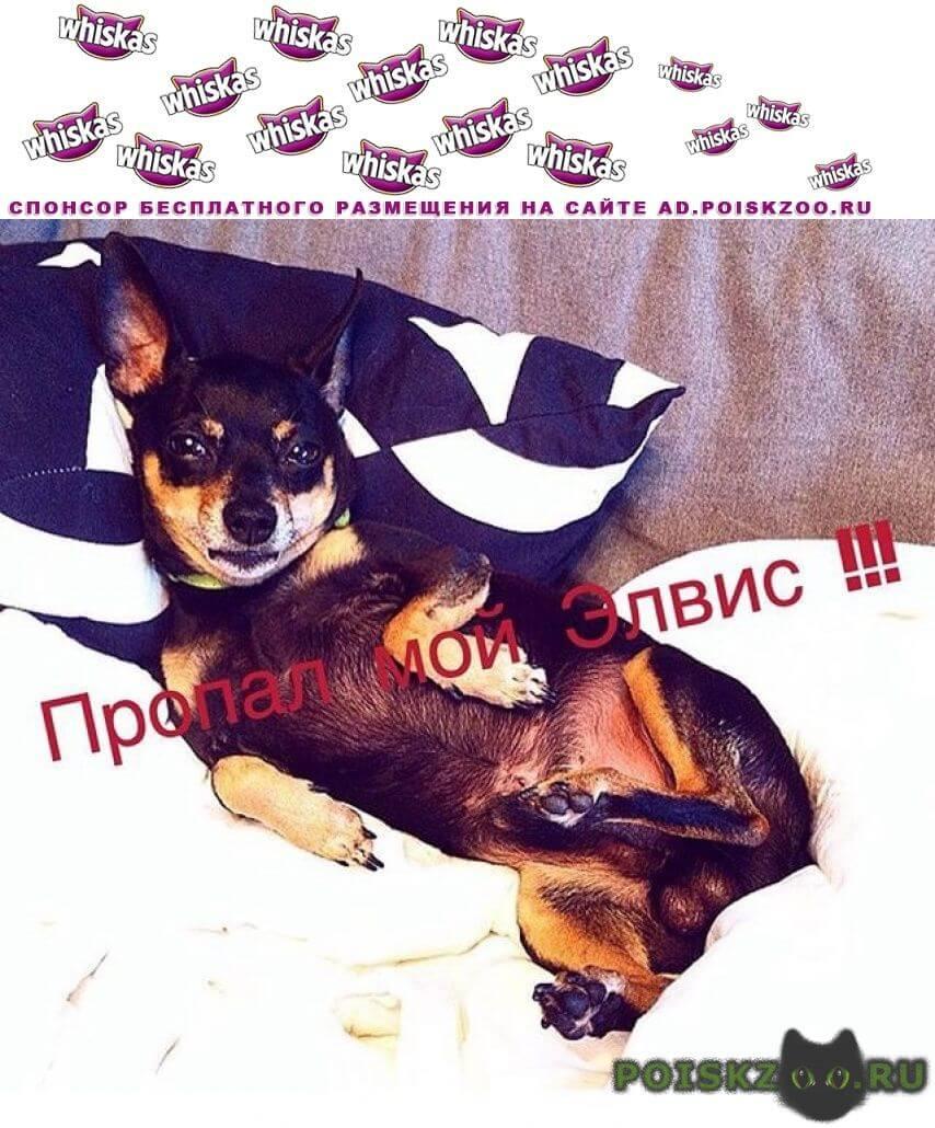 Пропала собака кобель той-терьер г.Хабаровск