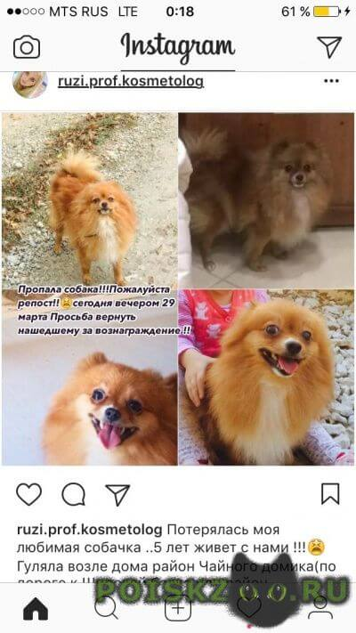 Пропала собака шпиц г.Новороссийск