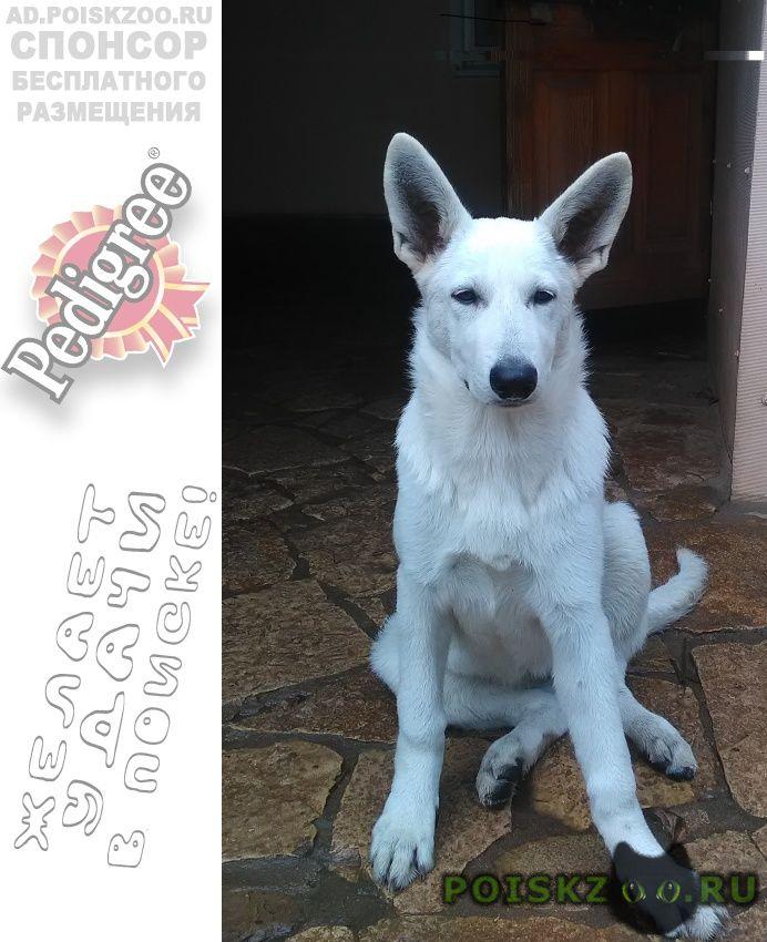 Пропала собака щенок белой швейцарской овчарки г.Оренбург