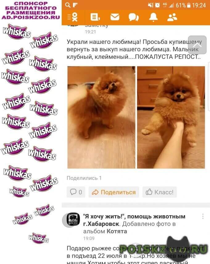 Пропала собака найти шпица помогите г.Хабаровск