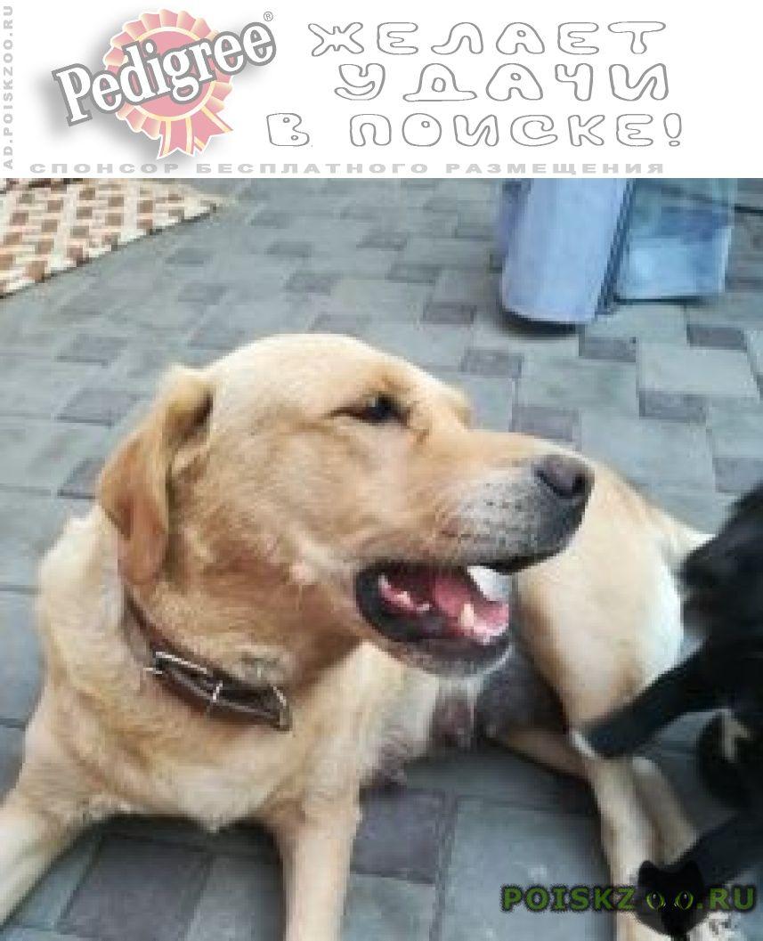 Пропала собака лабрадор г.Ростов-на-Дону