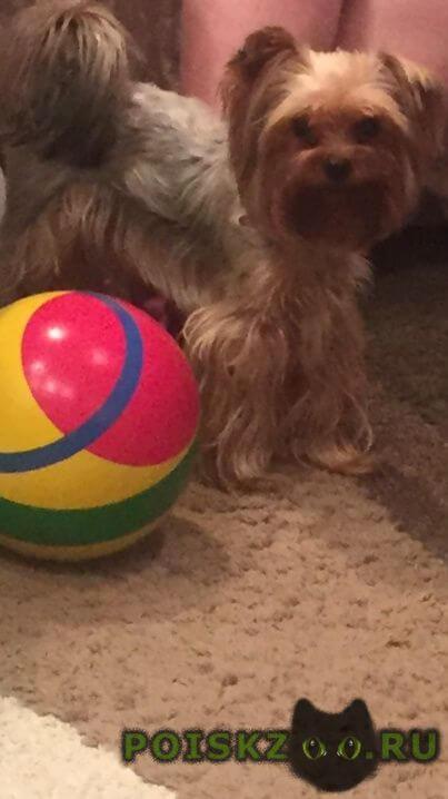 Пропала собака кобель йоркширский терьер г.Новосибирск