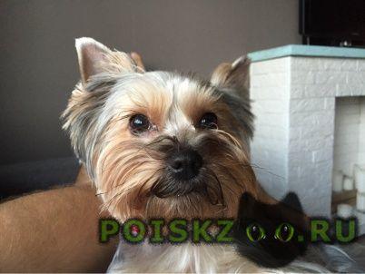 Пропала собака йорк г.Калининград (Кенигсберг)