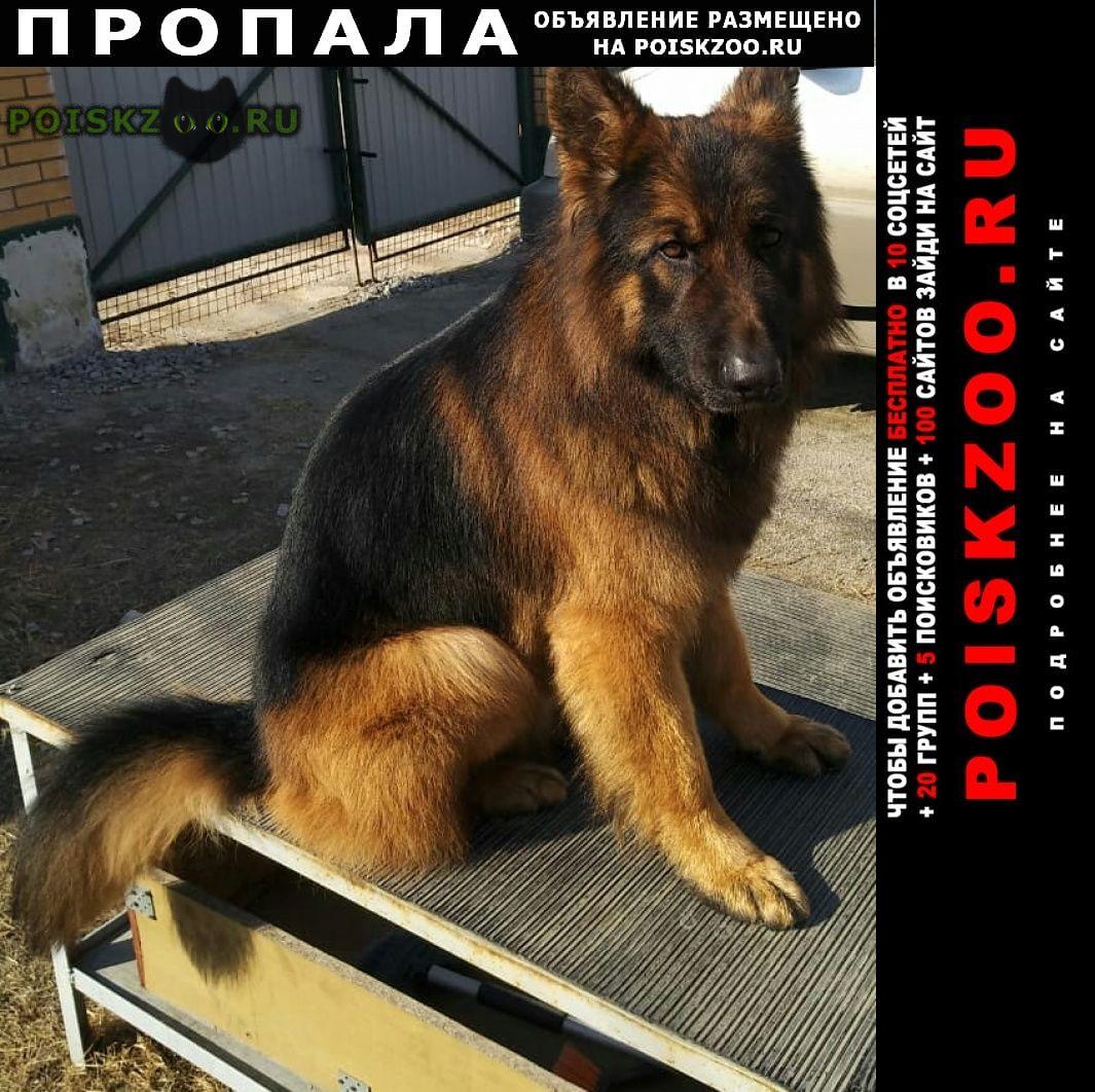 Пропала собака кобель длинношерстной немецкой ов г.Хабаровск