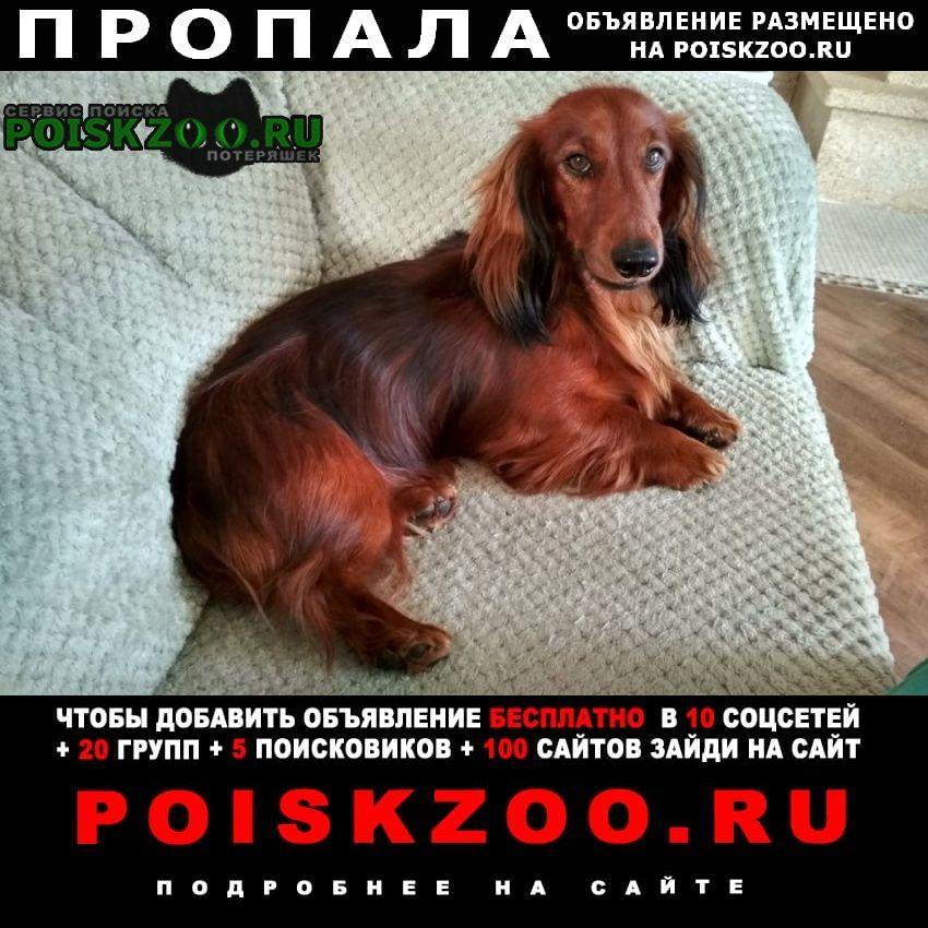 Пропала собака рыжий кобель длинношерстной таксы Сысерть