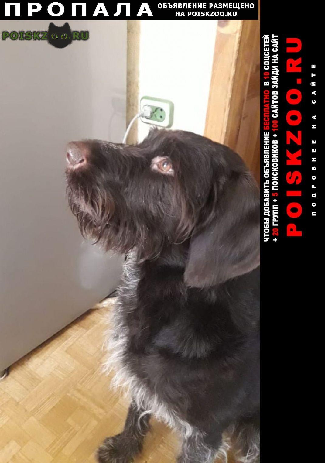 Пропала собака кобель немецкая легавая г.Ломоносов
