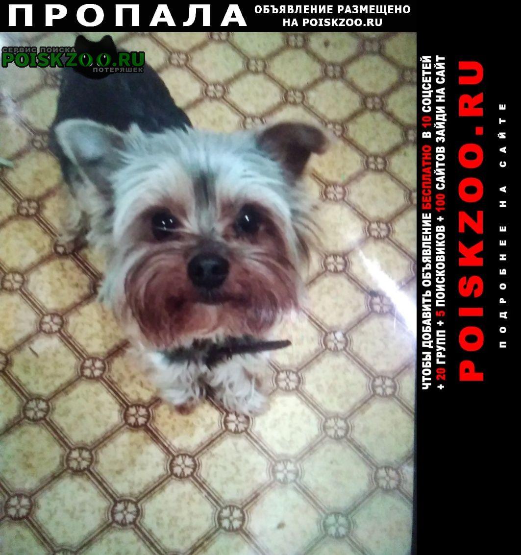 Пропала собака кобель йорк. Буденновск