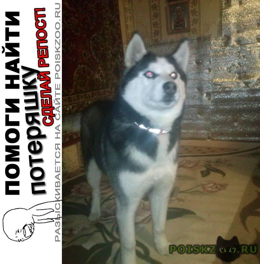Пропала собака хаски девочка г.Тамбов