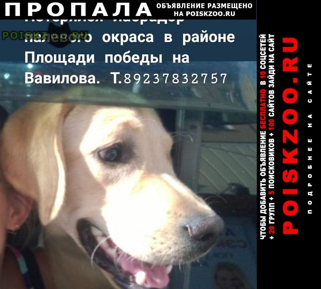 Пропала собака кобель лабрадор палевого окраса г.Красноярск