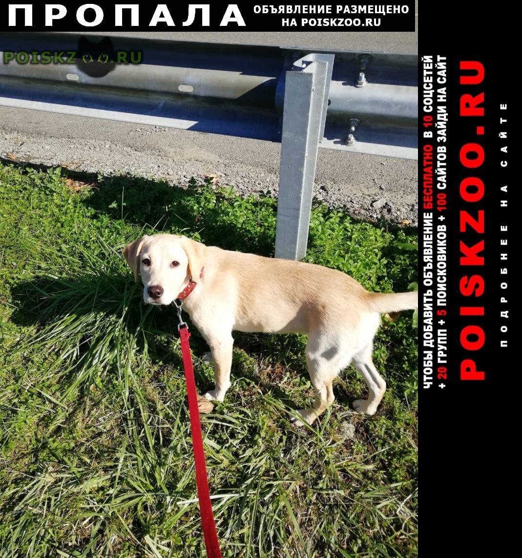 Пропала собака лабрадор, девочка г.Сочи