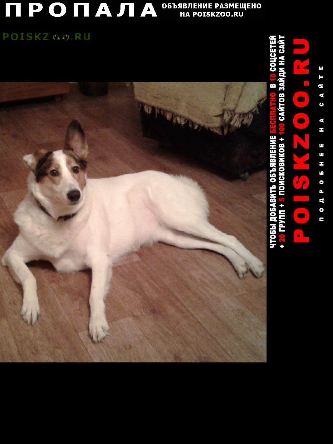 Пропала собака белая с поводком г.Ярославль