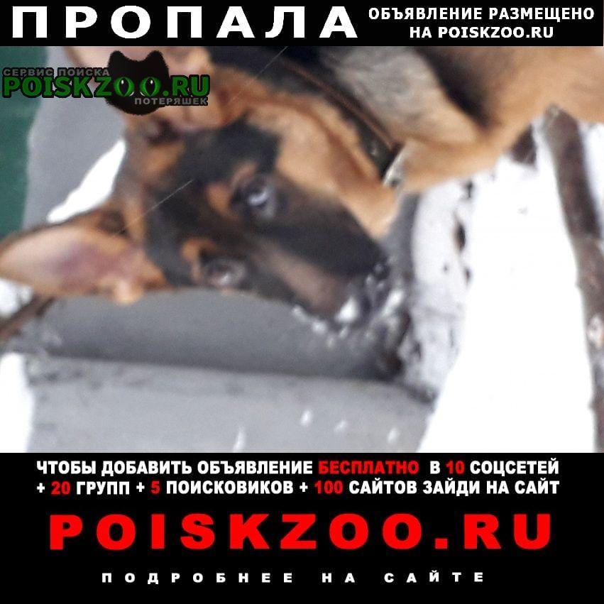 Пропала собака щенок немецкой овчарки Михайловск Ставропольский край