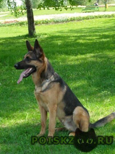 Пропала собака кобель г.Лобня