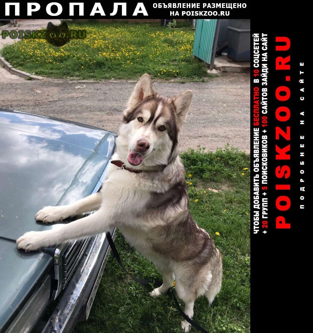 Пропала собака хаски г.Чебоксары