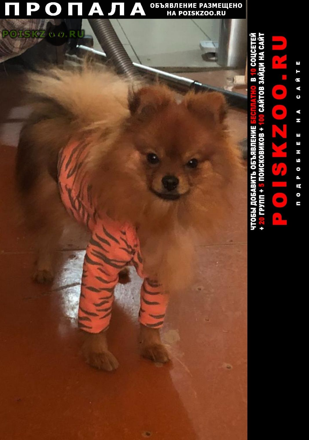 Пропала собака кобель шпиц г.Ростов-на-Дону