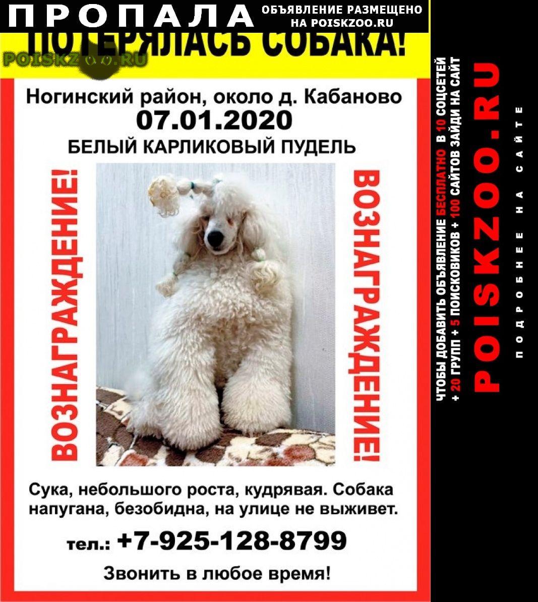 Пропала собака белый карликовый пудель г.Ногинск