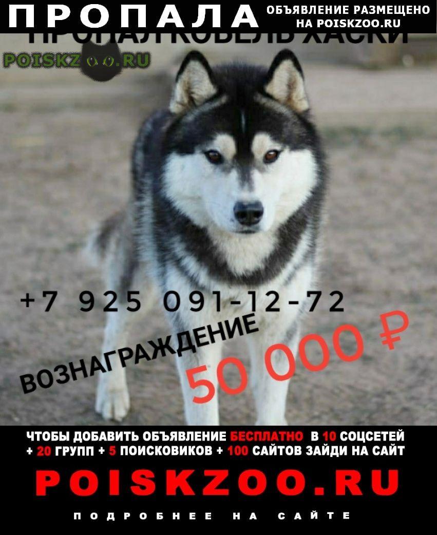 Пропала собака кобель хаски (лайка) г.Бронницы