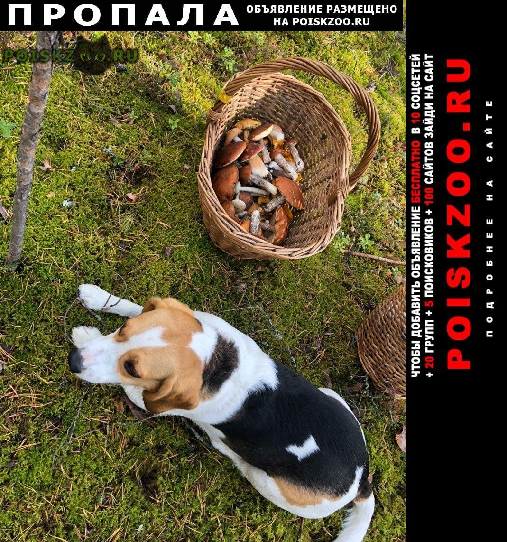 Пропала собака кобель потеряли друга семьи г.Зеленогорск (Ленинградская обл.)