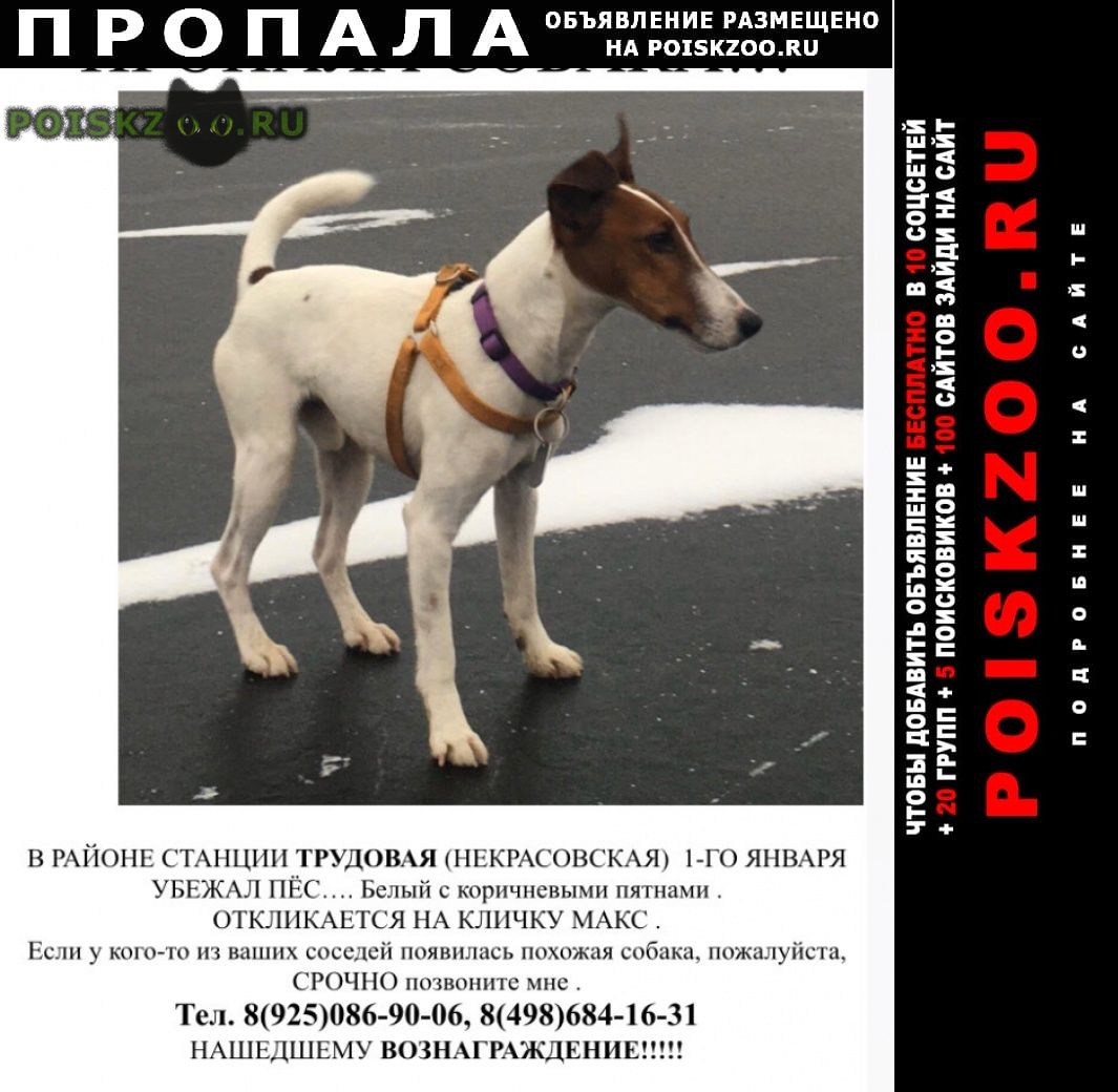 Пропала собака кобель фокстрерьер г.Дмитров