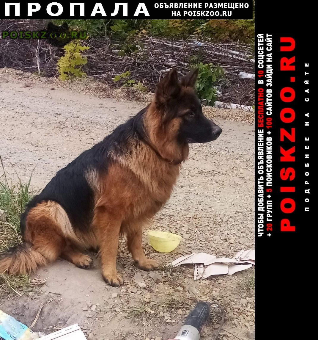 Пропала собака кобель немецкой овчарки г.Пенза