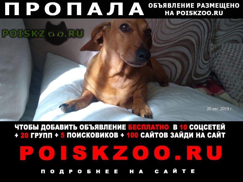 Пропала собака такса, красный ошейник, подхрамывает г.Санкт-Петербург