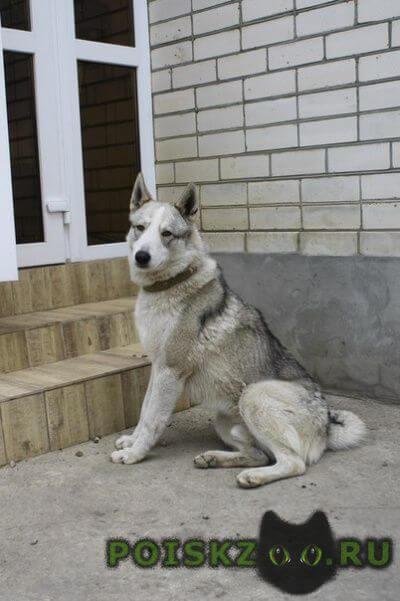 Пропала собака кобель западно-сибирская лайка г.Михайловск