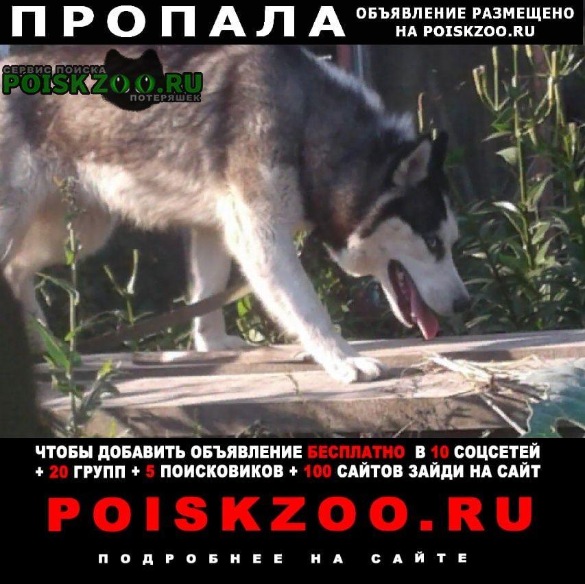 Пропала собака девочка сибирский хаски Далматово