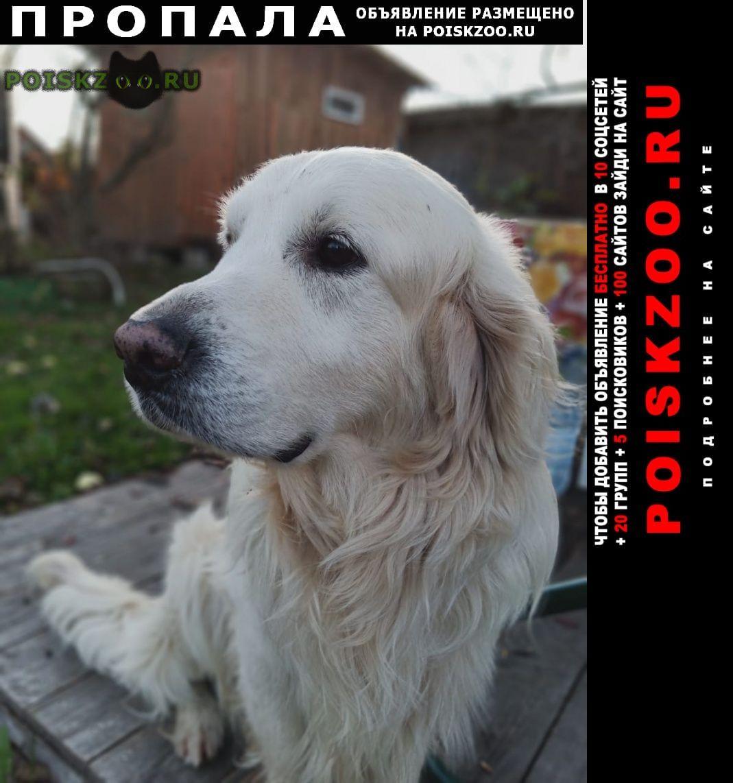 Пропала собака кобель золотистый ретривер г.Чехов