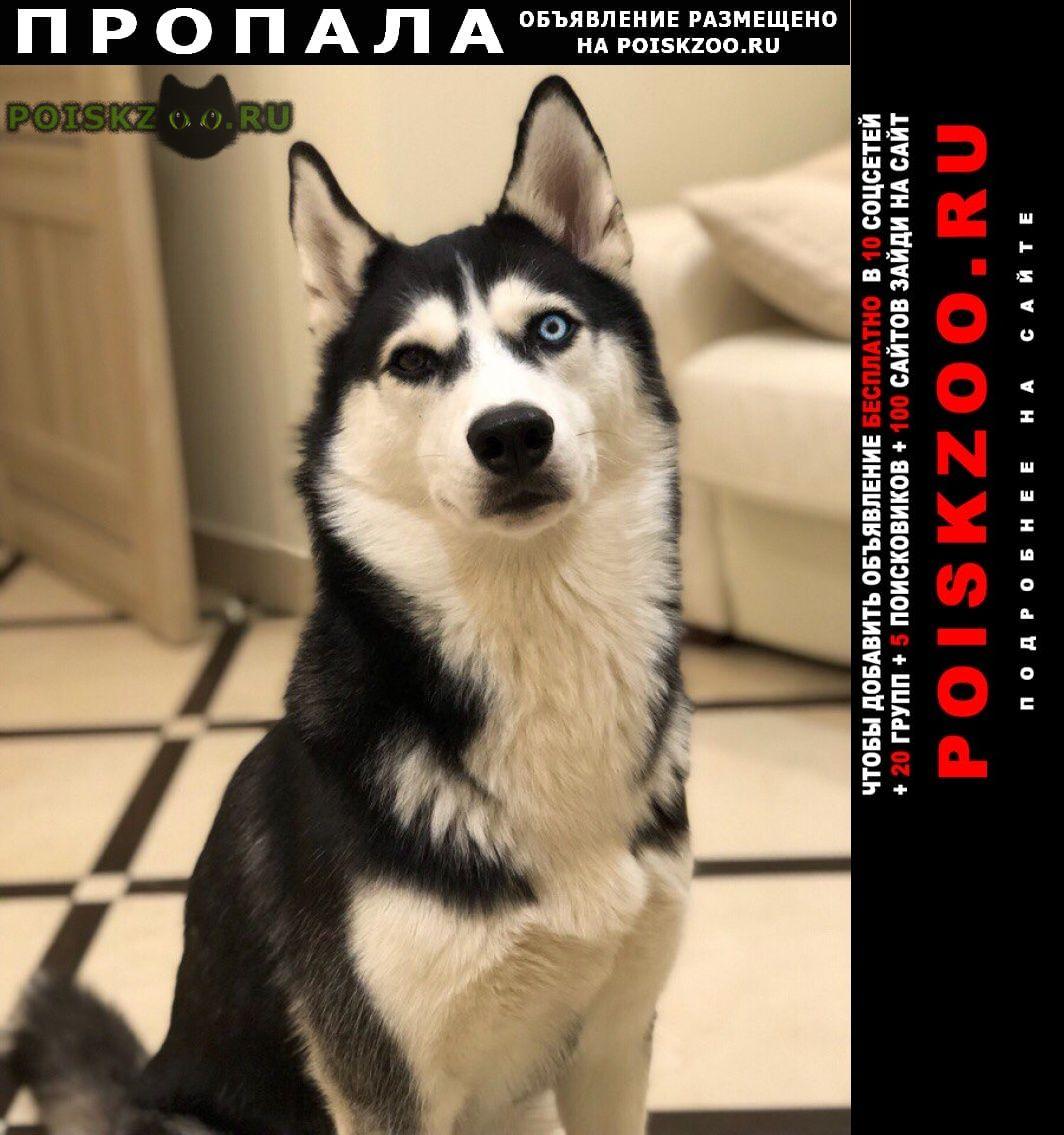 Пропала собака.. хаски г.Москва
