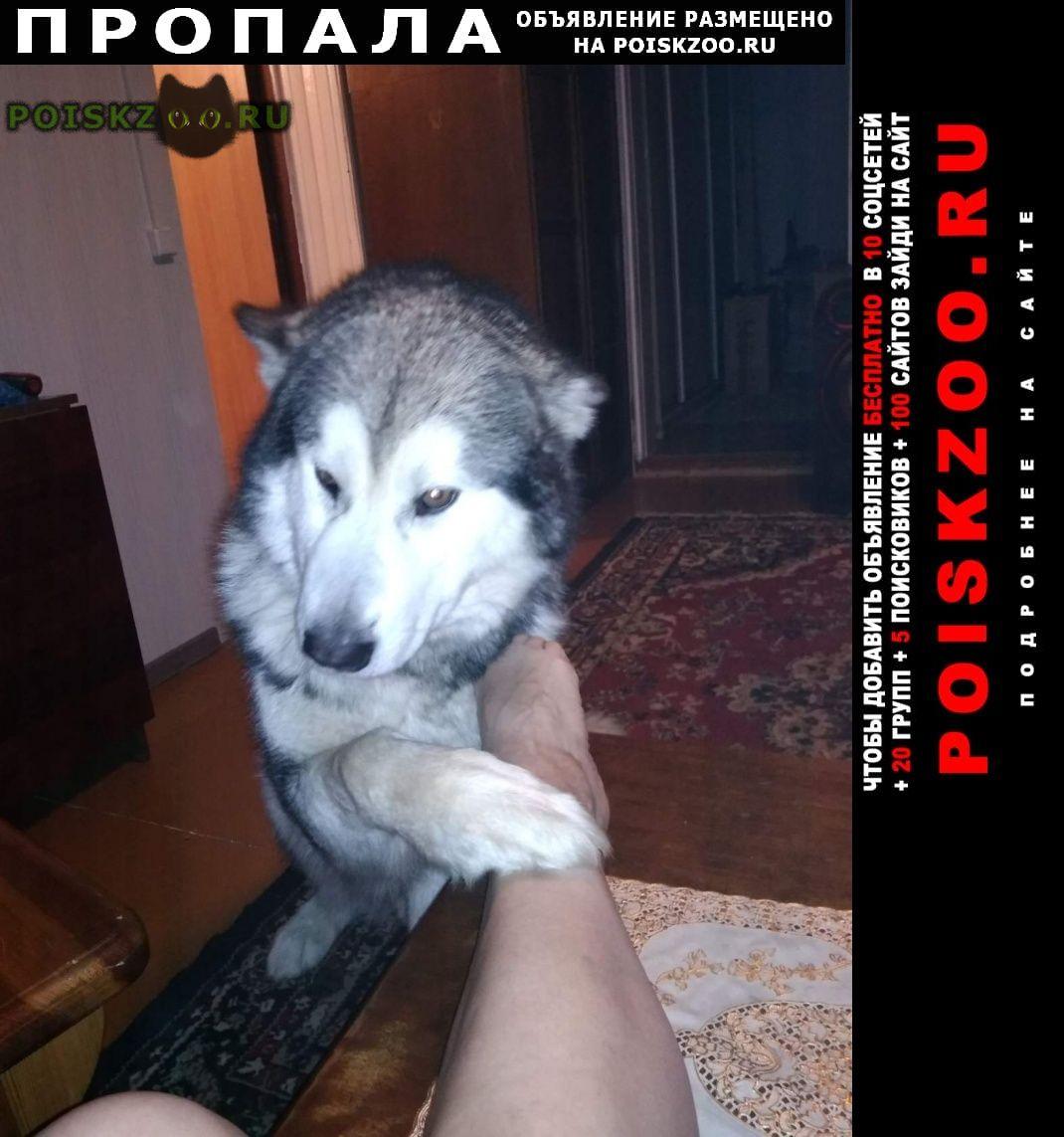 Пропала собака кобель аляскинский маламут г.Раменское