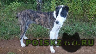 Пропала собака алабай г.Ногинск