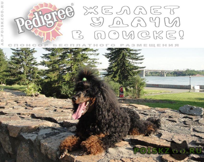 Пропала собака кобель крупное вознаграждение г.Новосибирск
