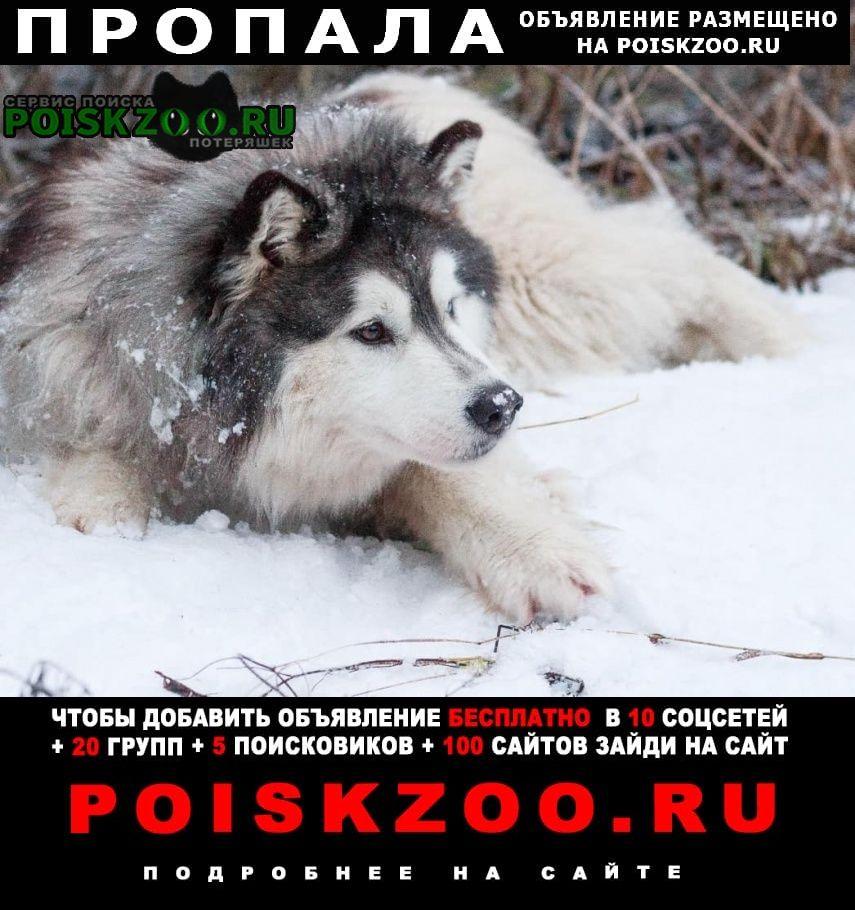 Пропала собака хаски с разными глазами Можайск