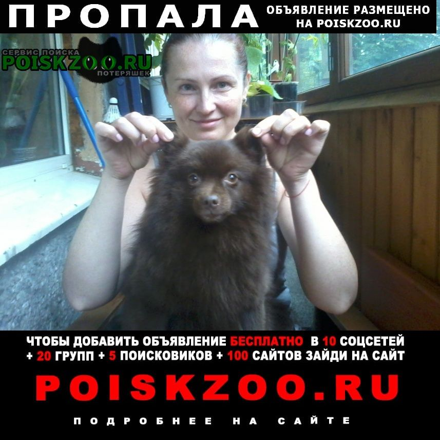 Пропала собака малый немецкий шпиц г.Санкт-Петербург