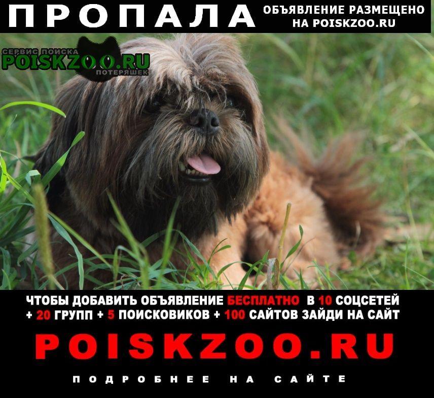 Пропала собака кобель ши- тцу, мальчик, коричневый г.Подольск