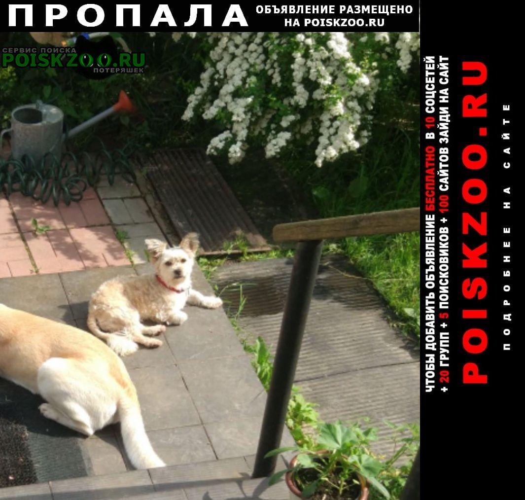 Егорьевск Пропала собака помесь йорка вест терьера
