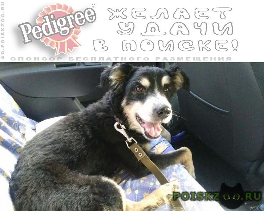 Пропала собака кобель в пос.новый городок щелковского р-на г.Щелково