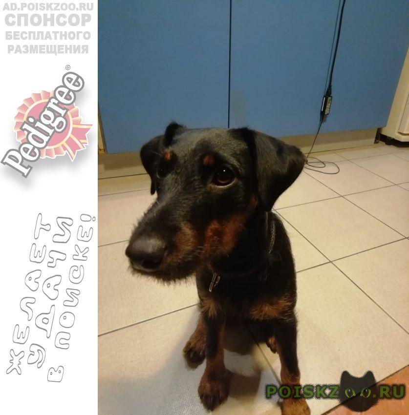 Пропала собака ягд терьер г.Санкт-Петербург