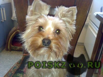 Пропала собака йокширский терьер г.Талдом