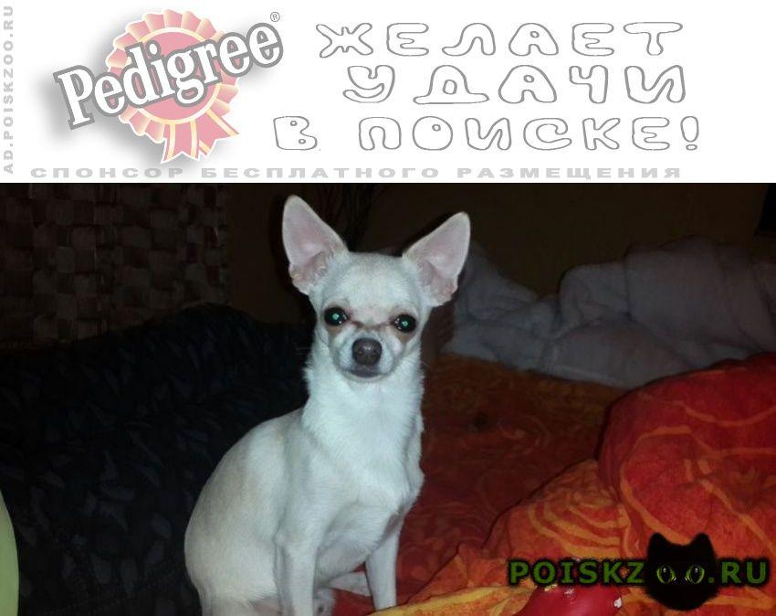 Пропала собака кобель чихуа г.Балаково
