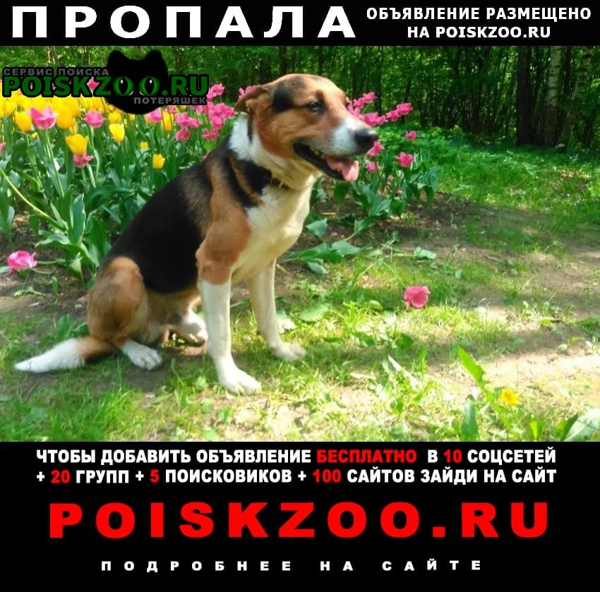 Пропала собака кобель метис гончей с овчаркой район коньково г.Москва
